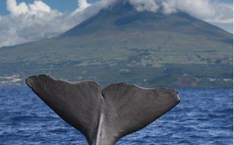 Whale, Portugal