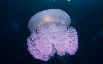 Jellyfish Underwater, Micronesia