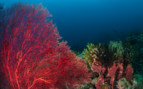 Picture of coral life in New Britain