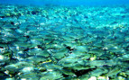 Picture of a large school of fish in Tufi
