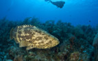 Picture of Cayman Golath Grouper