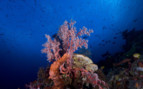 Picture of Coral at Moyo Island