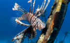 Picture of lion fush Grand bahama Island