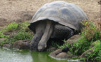 Picture of a Galapagos tortoise