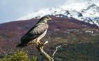 Bird of Prey in Torres del Paine