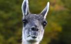 A Curious Llama