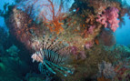 A Red Lion Fish in Thailand