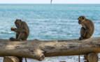 Monkeys Sitting by the Sea