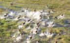 Aerial of stampeding herd