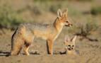 Foxes in the Kalahari