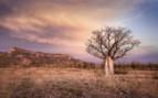 Baobab tree in the Kimberley