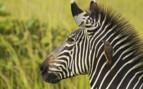 Close up of Zebra in Africa