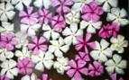 Lamu Island flowers