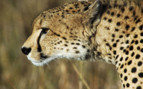 Cheetah in Africa close up