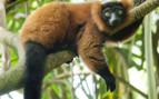 Red Vari Lemur