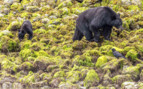 Black Bear and Its Cub