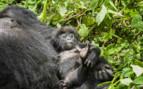 Baby Gorilla and Father in Rwanda