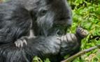 Baby Gorilla in Rwanda National Park
