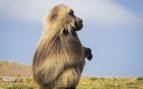 Gelada Baboon in the Siemen Mountains
