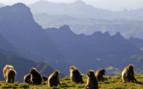 Gelada Baboons in the Siemen Mountains