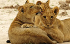 Lion Family in Hwange