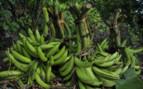 Bananas in Nicaragua
