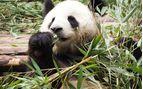 Giant Panda Research Base Chengdu