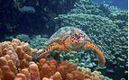 Sea turtle Underwater, Egypt