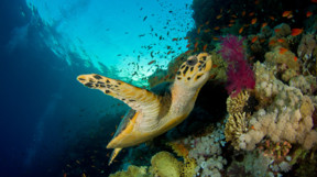 Picture of a sea turtle in Oman