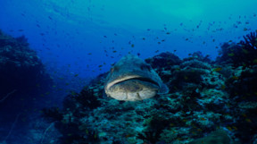Picture of Galapagos grouper
