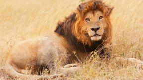 Lion, Kenya