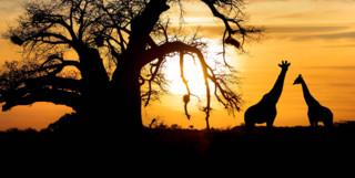Giraffes in Kruger