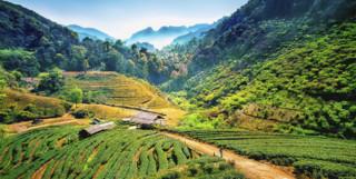 Angkhang Tea Plantations in Chiang Mai