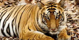 Tiger lying down