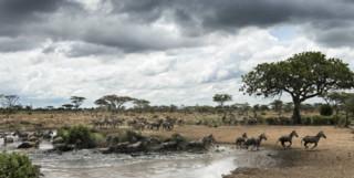 Serengeti Zebra at the Watering Hole