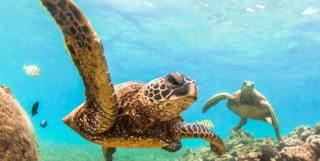 Belize Sea Turtle