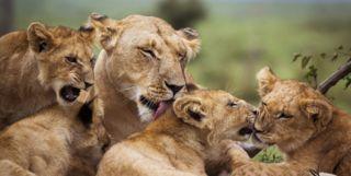 Lion Cubs, Tanzania