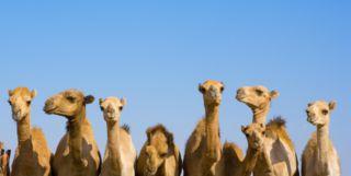 Camels, Abu Dhabi