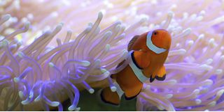 Clownfish hiding in a sea anemone