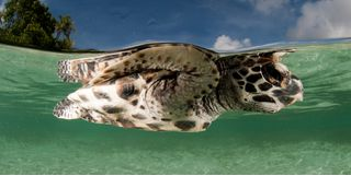 Picture of a turtle in New Ireland in Papua New Guinea