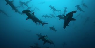 Picture of hammerheads in Rangiroa