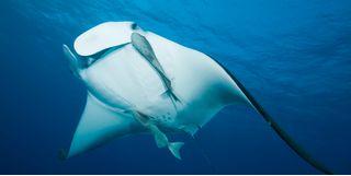 Picture of a manta ray in Bora Bora