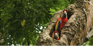 Parrots in a tree, Costa Rica