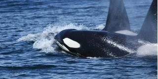 Diving with orcas