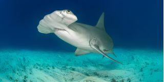 Hammerhead shark spotting, Bahamas
