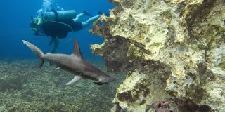 Diving with Hammerhead, Bahamas
