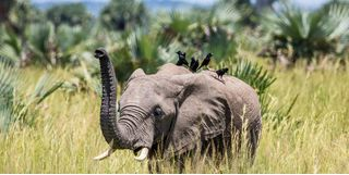 elephant with birds on back