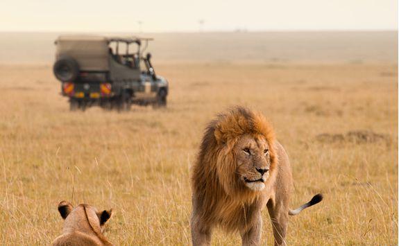 Lions by safari vehicle