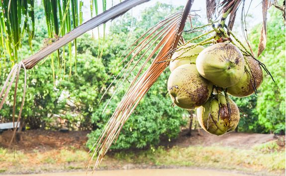 Coconuts in Indonesia