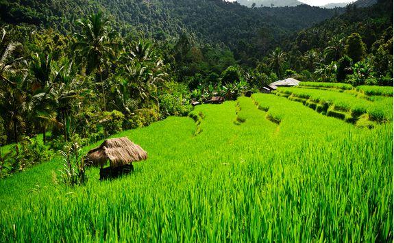 Rice Paddies, Bali